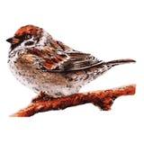 small sparrow on the tree. Bird illustration Royalty Free Stock Photo