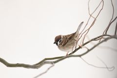 Small sparrow on twig close up. Small sparrow on twig closeup. Snowy tree in winter time. Birds photography Royalty Free Stock Photography