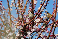 Small sparrows perching on plum trees Stock Image