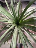 SABAL MINOR /DWARF PALMETTO. SMALL SPECIE OF PALM ,FAMILY :ARECACEAE ,IT IS NATIVE TO UNITED STATES, NORTH EASTERN MEXICO ,DIVERSITY OF HABITAT, SWAMP FLOOD Stock Photo