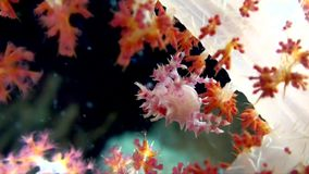 Small species of spider crab, Candy crab hides among polyps of soft corals. Lembeh strait Indonesia. stock footage