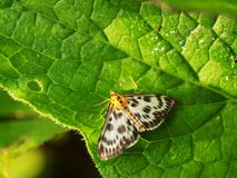 Small speckled butterfly in meadow Stock Photo