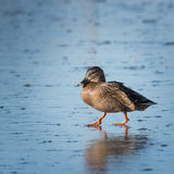 Small speckled duck on ice Royalty Free Stock Photo