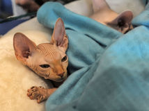 Small sphinx kitten sleeping Royalty Free Stock Photo