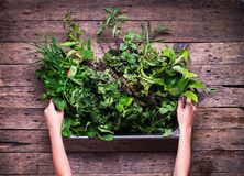 Small Spice Herb Garden Rustic Wooden Table. Female Hands Holding Metal Bowl royalty free stock images