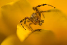 Small spider Araneidae Stock Photos