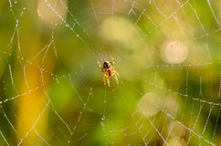 Small spider araneus at the center of its web. With dew drops Royalty Free Stock Images