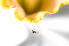 Small Spider on Daffodil. A small spider hanging from a daffodil royalty free stock photos