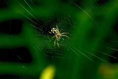 A small spider with a dark belly, sits on its web. On a dark green background. Macro. Royalty Free Stock Image