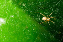 A small spider with a dark belly, sits on its web. On a dark green background. Macro. Royalty Free Stock Images