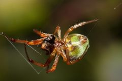Small Spider eat insect. Animal macro of spider eat Eat the victim insect Stock Photo