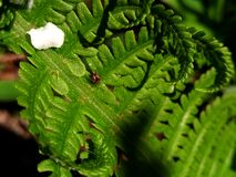 A small spider on a fern leaf. A small spider is basking in the sun on a tender leaf of a young fern Stock Photos