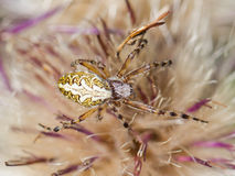 Small spider hiding in a flower Stock Photography