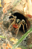 Small spider in his nestle. Or trap Stock Images