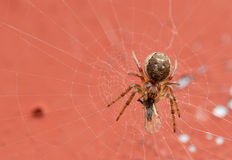 Small Spider with homefly. Small Spider with the death homefly Stock Photography