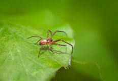 Small Spider Hunts Royalty Free Stock Photos