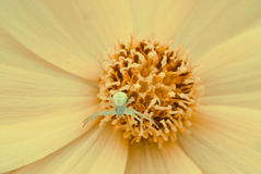 Small spider inside flower in macro. Small spider inside yellow flower shot with macro lense in it`s natural environment Stock Photography