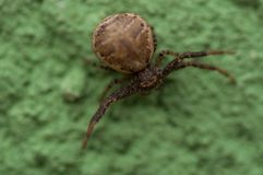 A small spider isolated on a green background.Spider on  green wall. A small spider isolated on a green background.Spider on wall insect natural brown closeup stock photo