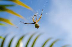 A small spider in its web with a blue sky in the background. Very close, tying its prey Stock Images