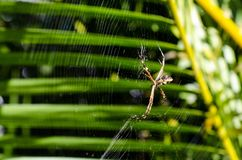 A small spider in its web with palm leaves in the background, ve. Ry close Royalty Free Stock Images