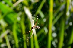 A small spider in its web with palm leaves in the background. Very close, spiderweb Royalty Free Stock Photography