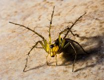 Small Spider, Spider, Arachnids Royalty Free Stock Image
