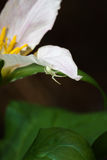 Small spider on a trillium Stock Photography