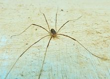 Small spider with a very long legs sitting on the wall very close to the camera stock image