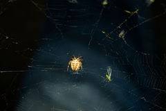 A small spider with a wavy pattern on the abdomen, sits on a cobweb, behind which a green fly was caught. Macro Royalty Free Stock Photo