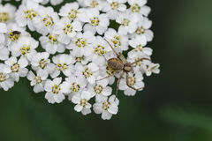Small spider on white flower petals with green background. Macro Royalty Free Stock Photography