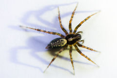 Small spider. On white with shadow stock photos