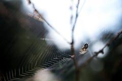 Small spider (Metellina segmentata) in a big net in the forest, Stock Photo