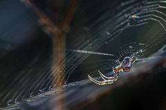 Small spider (Metellina segmentata) in the net at the edge of th Stock Images