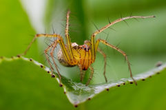 Small spiders. The handsome spiders make threatening gestures Stock Images
