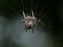 Small Spiky orb weaving spider in web with black background Stock Image