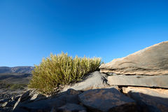 Small spiky rounded leafless shrub. Growing amongst rocks in the mountains of Oman royalty free stock photo