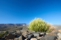 Small spiky rounded leafless shrub stock photography