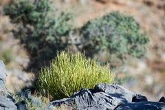 Small spiky rounded leafless shrub royalty free stock photos