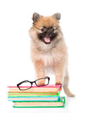 Small spitz dog with glasses and pile books. isolated on white Stock Photography