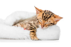 Small spotted bengal sleeping in a cap of Santa Claus Stock Photos