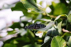 Small spotted Butterfly on Leaf royalty free stock photo