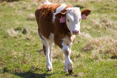 Small spotted calf Royalty Free Stock Photos