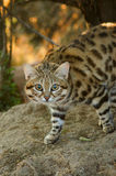 Small Spotted Cat Royalty Free Stock Images
