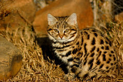 Small Spotted Cat or Black-footed Cat Royalty Free Stock Photo
