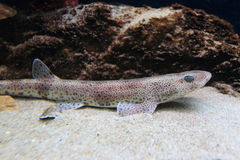 Small-spotted catshark. In water stock photos