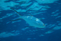 Small spotted dart fish Royalty Free Stock Image