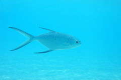 Small spotted dart fish royalty free stock photography