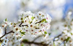 Free Small Spring Bloom Gentle White Flowers On A Tree - Closeup Shot Royalty Free Stock Photography - 147436957