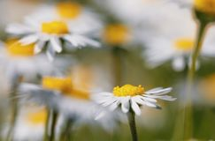 Small spring daisy flower royalty free stock image