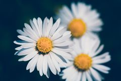 Small spring daisy flower royalty free stock photo